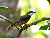 Heterocercus flavivertex - Yellow-crowned Manakin