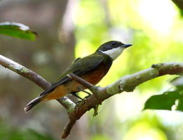 Heterocercus flavivertex - Yellow-crowned Manakin.JPG