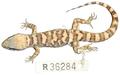Heteronotia fasciolatus holotype (NTM R36284) - Journal.pone.0078110.g012.png