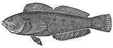 叉线六线鱼