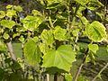 Hibiscus.syriacus(01).jpg