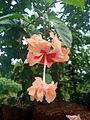 Hibiscus double.JPG