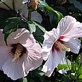 Hibiscus syriacus 'Melrose' flowers.jpg
