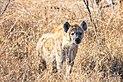 Hiena manchada (Crocuta crocuta), parque nacional Kruger, Sudáfrica, 2018-07-26, DD 21.jpg