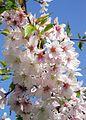 Higan-Kirsche (Prunus subhirtella).jpg