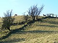 Hill sheep on a hill - geograph.org.uk - 699659.jpg