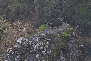 Himalayan serow - Image: Himalayan Serow Pangolakha Wildlife Sanctuary East Sikkim India 12.05.2016