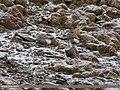 Himalayan Snowcock (Tetraogallus himalayensis) (38083854652).jpg