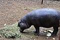 Hippopotamus, Nairobi National Park.jpg