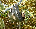 Hoffman's Two-toed Sloth. Choloepus hoffmanni - Flickr - gailhampshire.jpg