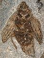 Holcoptera giebeli NHMUK PI II.3101 a specimen.jpg