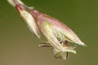Holcus lanatus - Flower showing anthers