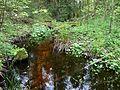 Holovne Liubomlskyi Volynska-zakaznyk botanical Spruce forest-small river.jpg