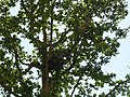 Holub hřivnáč (Columba palumbus) - krmení 01.jpg