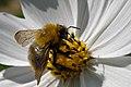 Honey Bee gathering nectar - panoramio.jpg