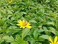 Honeybee on a flower 03.jpg