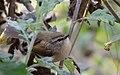 Horornis brunnescens.JPG