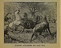 Horses attacked by gad fly illustration mcdougall brothers 1886.jpg