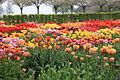 Hortus Bulborum 2014-04-24-05.jpg