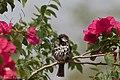 House Sparrow (male) Hildago Pump House Mission TX 2018-03-18 11-44-43 (40179105634).jpg