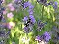 Hover-fly (Scaeva Pyrastri) (3268722593).jpg
