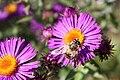 Hoverfly-botanic-park-bern-switzerland.jpg