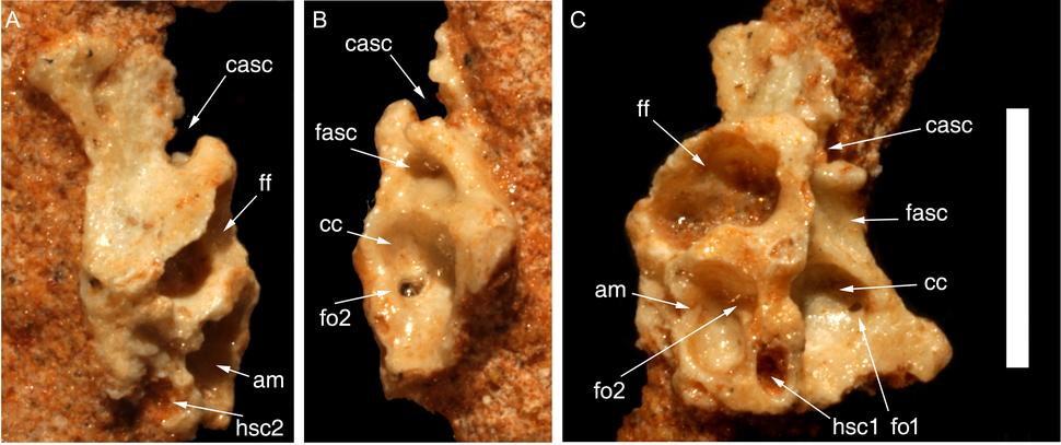 Hulsanpes braincase wall