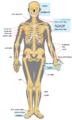 Human skeleton front.heb.PNG