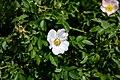 Hunds-Rose Rosa canina Nationalpark Donau-Auen Lobau Mai 2016 01.jpg