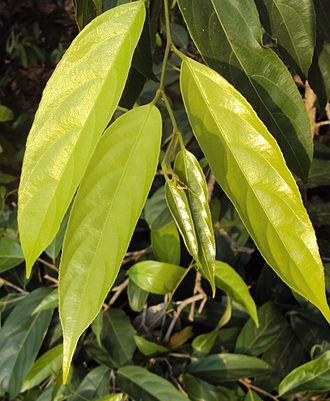 Hydnocarpus - Hydnocarpus pentandra