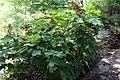 Hydrangea quercifolia Select Seedling 3zz.jpg