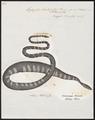 Hydrophis striata - 1700-1880 - Print - Iconographia Zoologica - Special Collections University of Amsterdam - UBA01 IZ11800177.tif