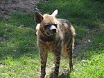 Hyena at chattbir zoo.jpg