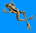 Hylarana erythraea Haeckel 2.png