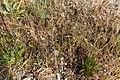 Hylsnejlika (Petrorhagia prolifera) -2952 - Flickr - Ragnhild & Neil Crawford.jpg
