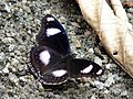 Hypolimnas bolina male in Kadavoor.jpg
