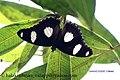 IMG 0315 danaid eggfly male (479571499).jpg