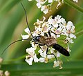 Ichneumonidae (38907902474).jpg