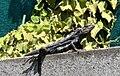 Iguana Talconete.jpg