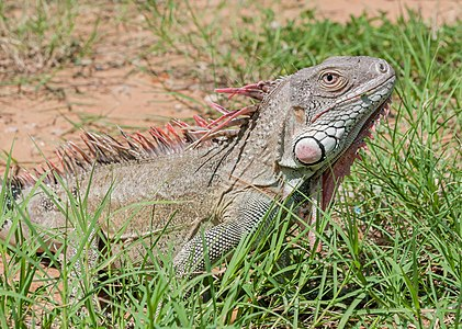 Iguana in the Maracaibo wild