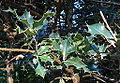 Ilex x altaclarensis - San Francisco Botanical Garden - DSC00021.JPG