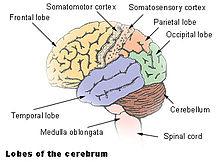 Difference Between Cerebrum and Cerebral Cortex ... |Cerebral Cortex Structure