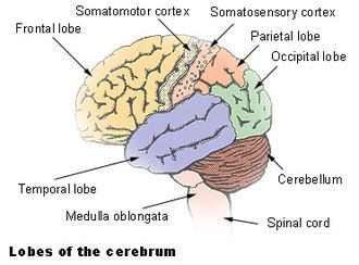 Cerebral cortex - Lateral view of cortex
