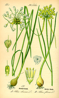 left vegetable leek (Allium oleraceum) and right yellow leek (Allium flavum);  illustration