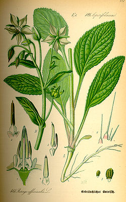 Borretsch (Borago officinalis), Illustration