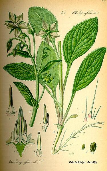 گیاهان داروئی استان اردبیل - گل گاو زبان
