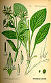 Illustration Borago officinalis0.jpg