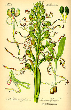 Illustration Himanthoglossum hircinum0.jpg