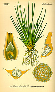 Illustration Isoetes lacustris0.jpg