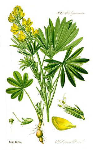 Illustration Lupinus luteus1.jpg
